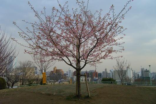 saigoyamasakura02.jpg
